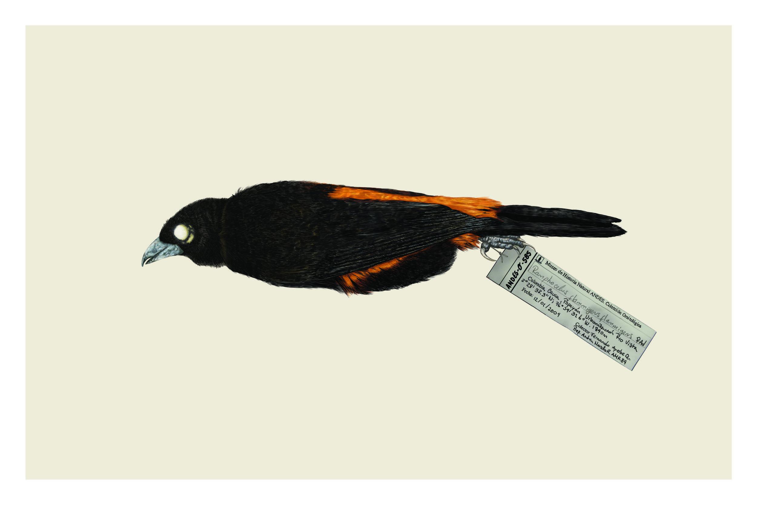 Ramphocelus flammigerus (Naranja).jpg