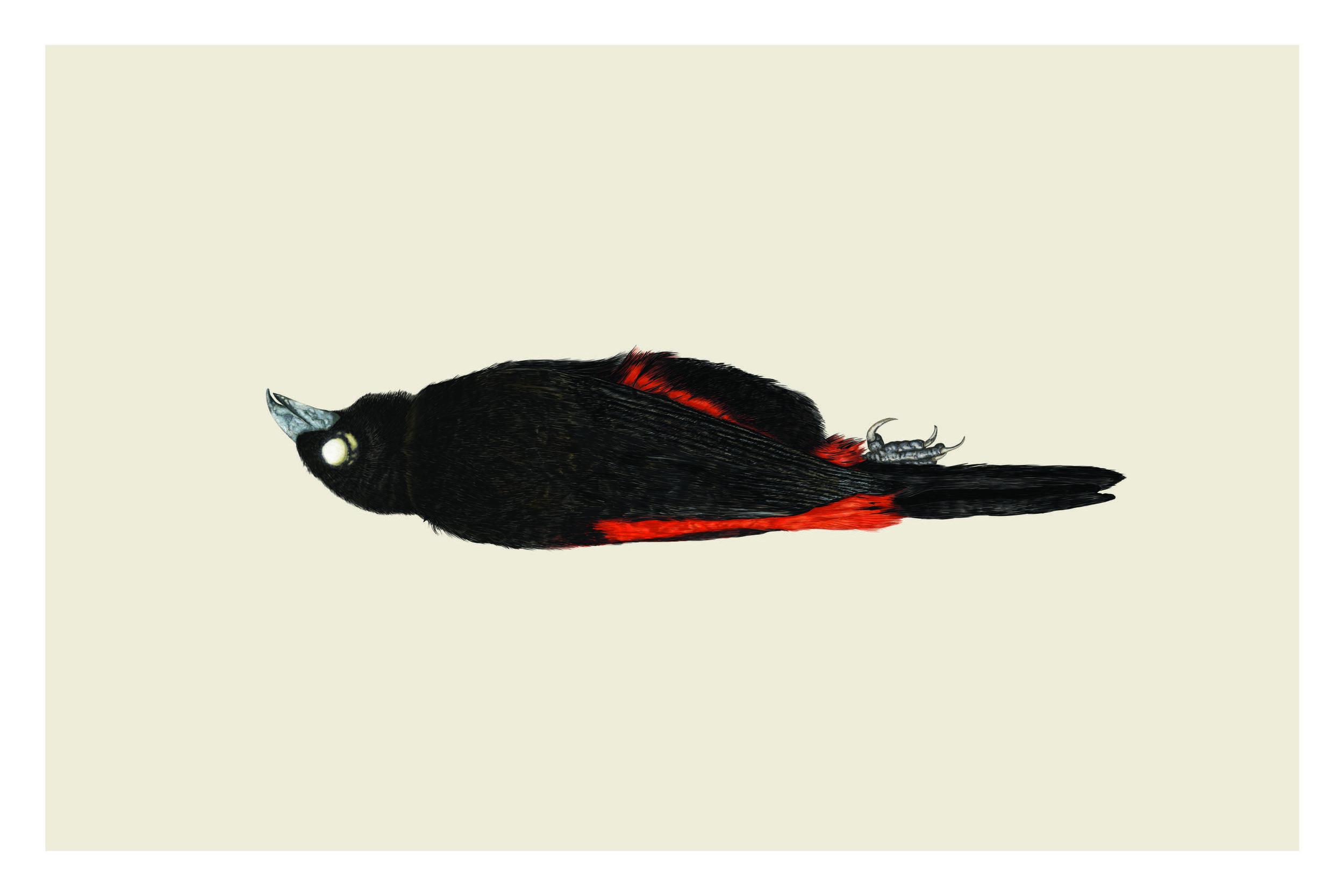 Ramphocelus flammigerus (Rojo.jpg