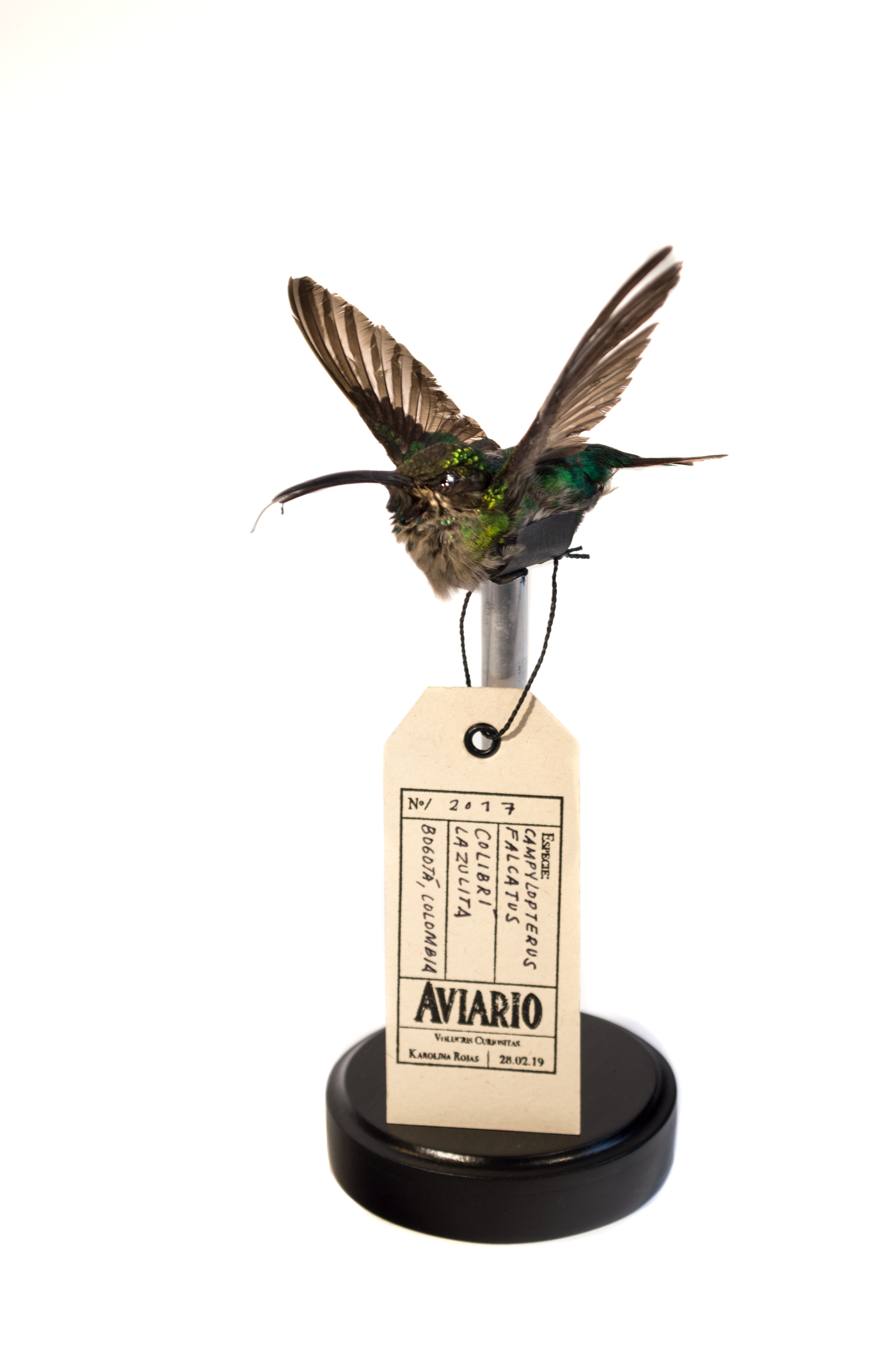Taxidermias_Colibri(2)_Karolina Rojas_2_© Stephanie Tique .png