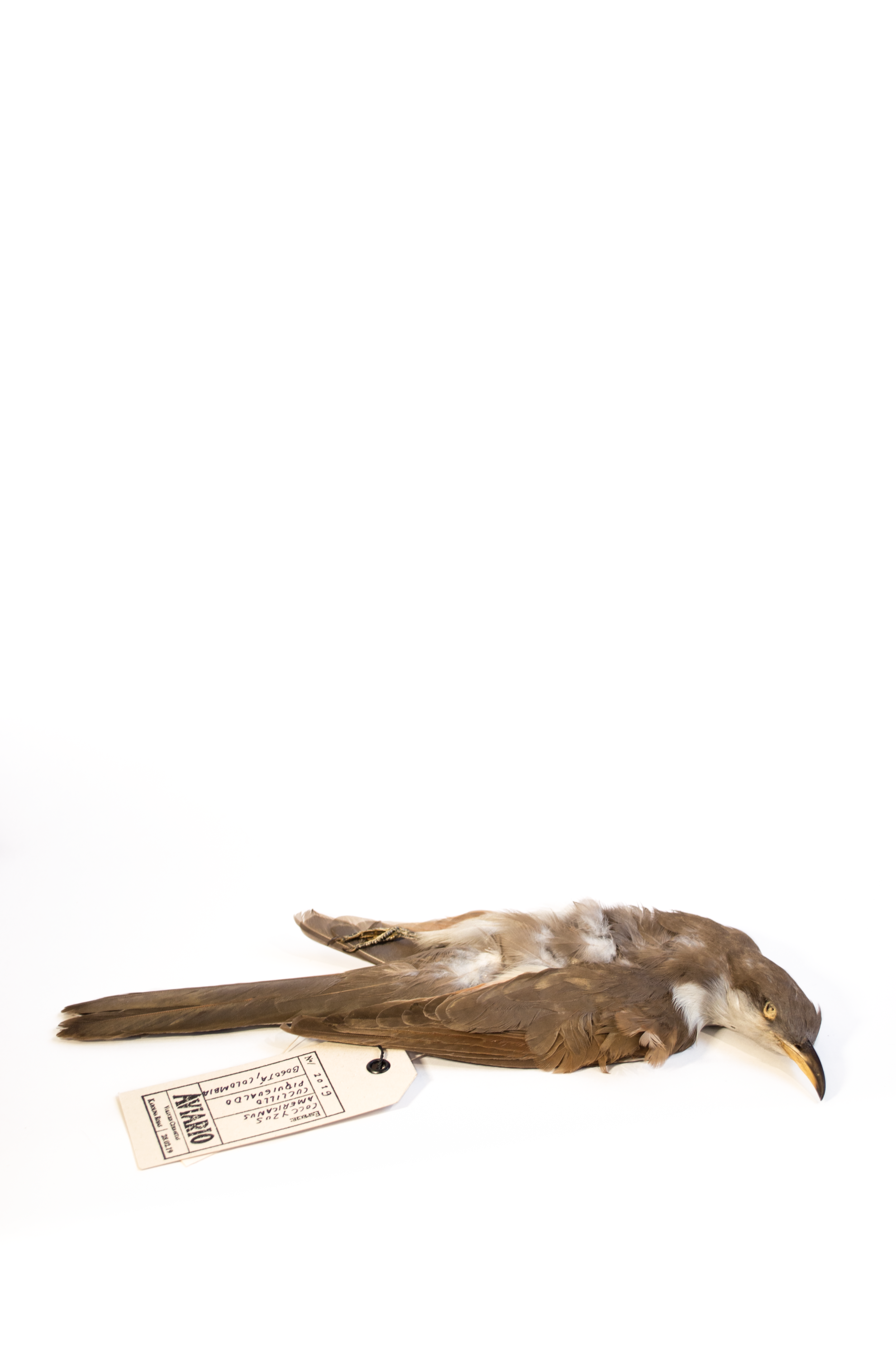 Taxidermias_Cuclillo_Karolina Rojas_1_© Stephanie Tique .png
