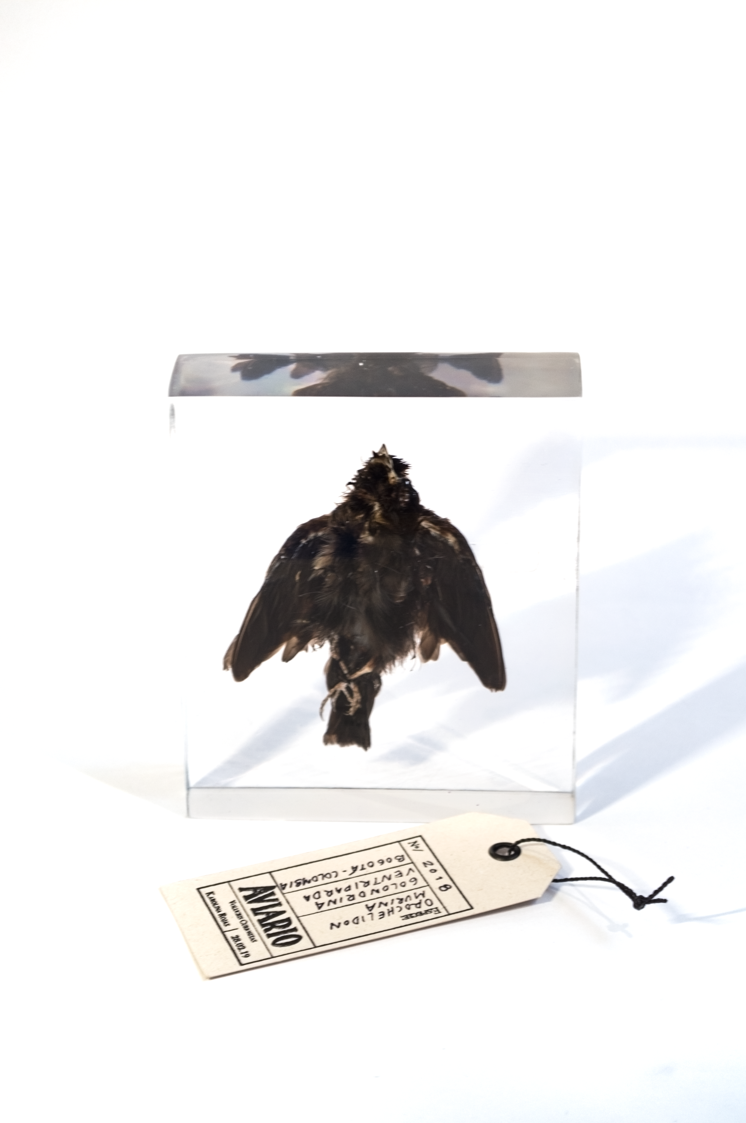 Taxidermias_Golondrina_Karolina Rojas_2_© Stephanie Tique .png