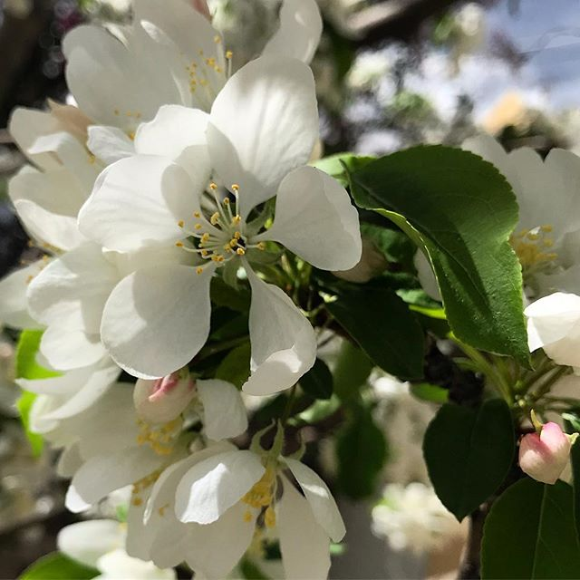 Blossoms Before the Snow #springtime #coloradospring #crabapple