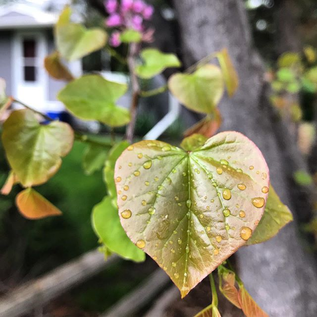 Heart Shaped Leaf #springtime #lafayettecolorado #babyleaves