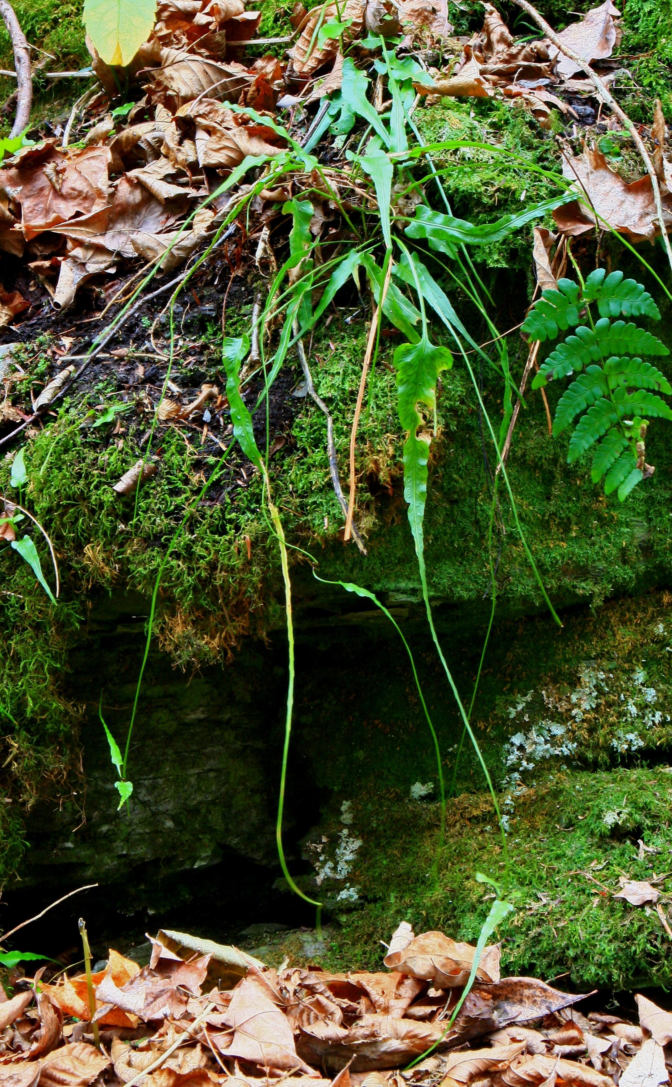 Asplenium_rhizophyllum_Oct2010.JPG