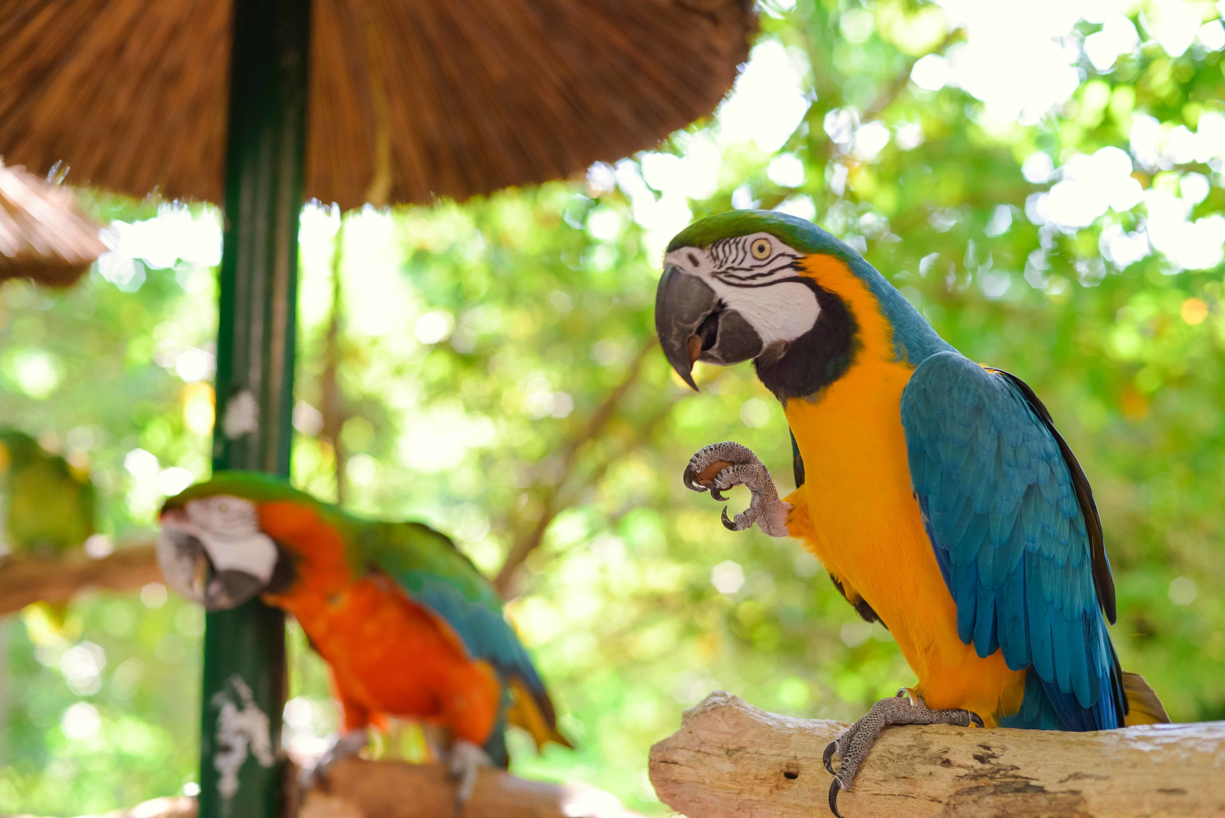 Macaws hanging out at Parrot Mountain in Pigeon Forge, TN