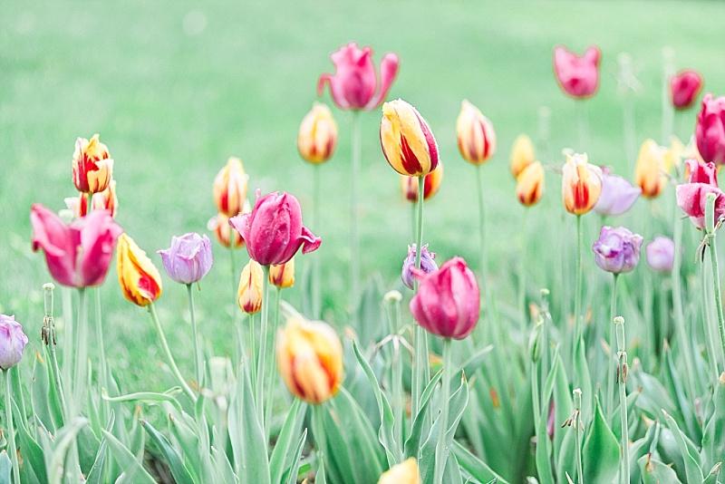 Kentucky tulips at EKU