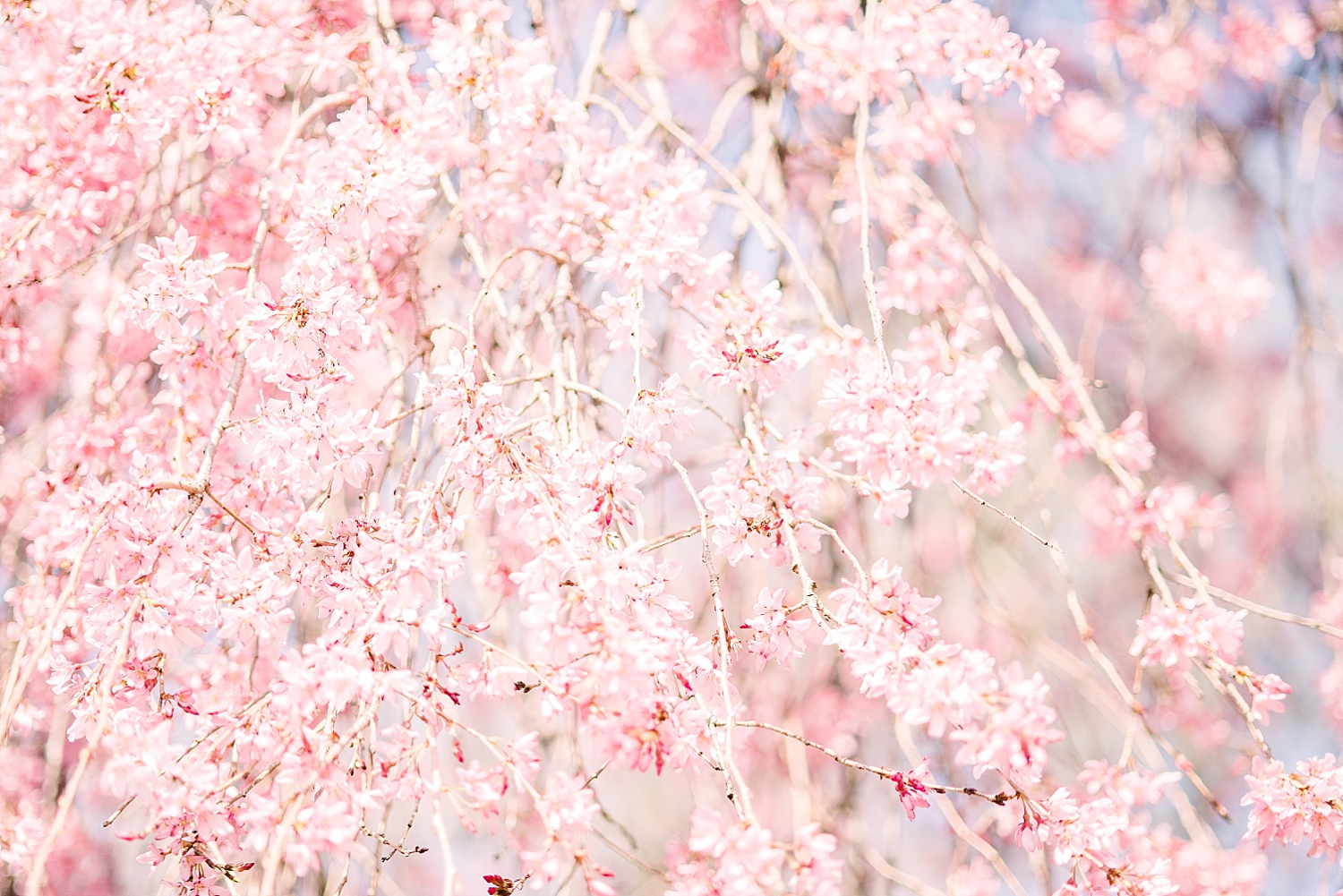 cherry-blossoms-photo-session
