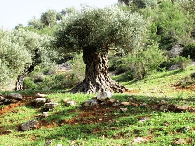 עצי זית עתיקים.jpeg