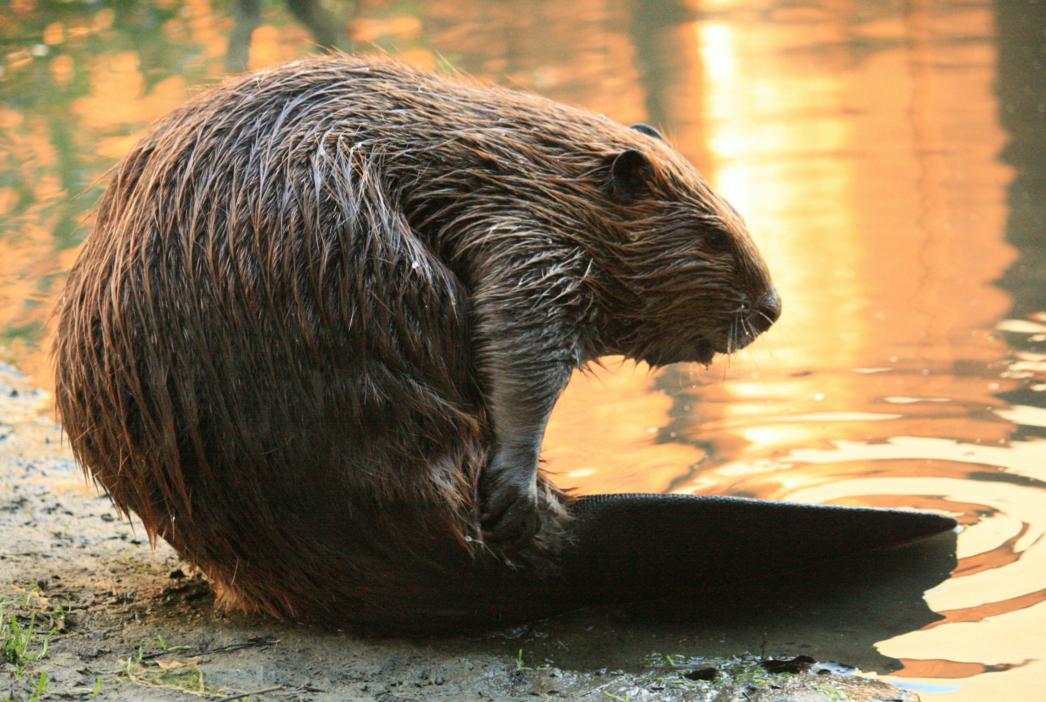 beavers-fish-ladder-nature-museum