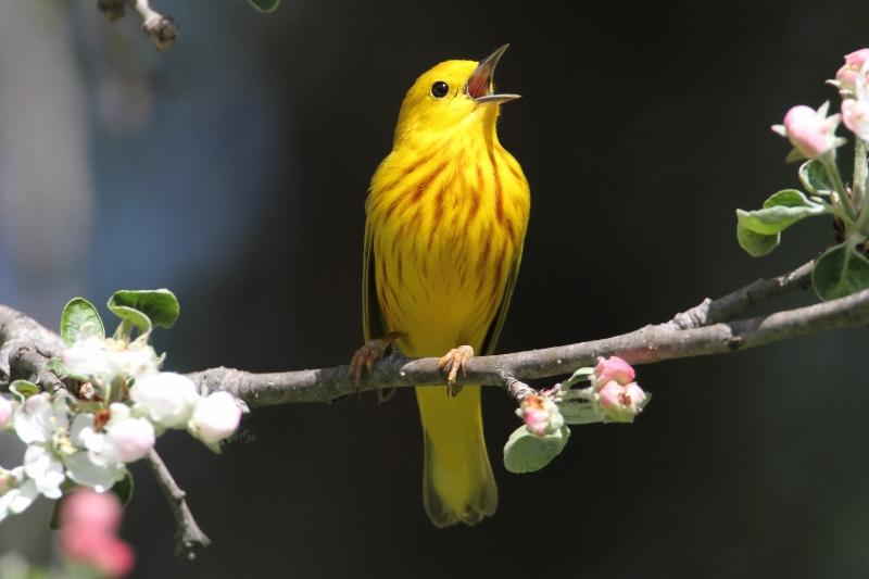 Yellow warbler (dendroica petechia) singing in spring.