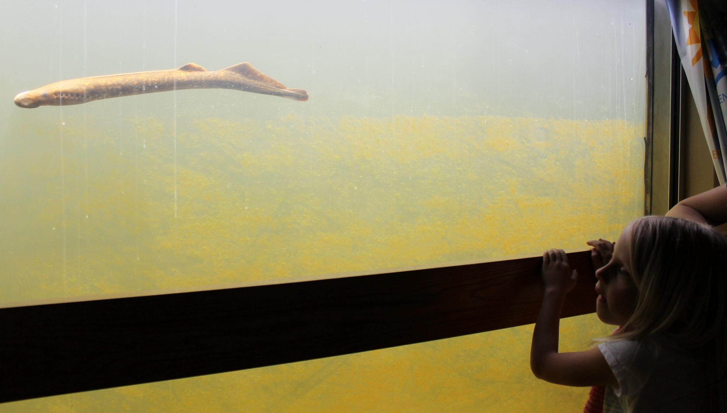 sea lampry swims.JPG