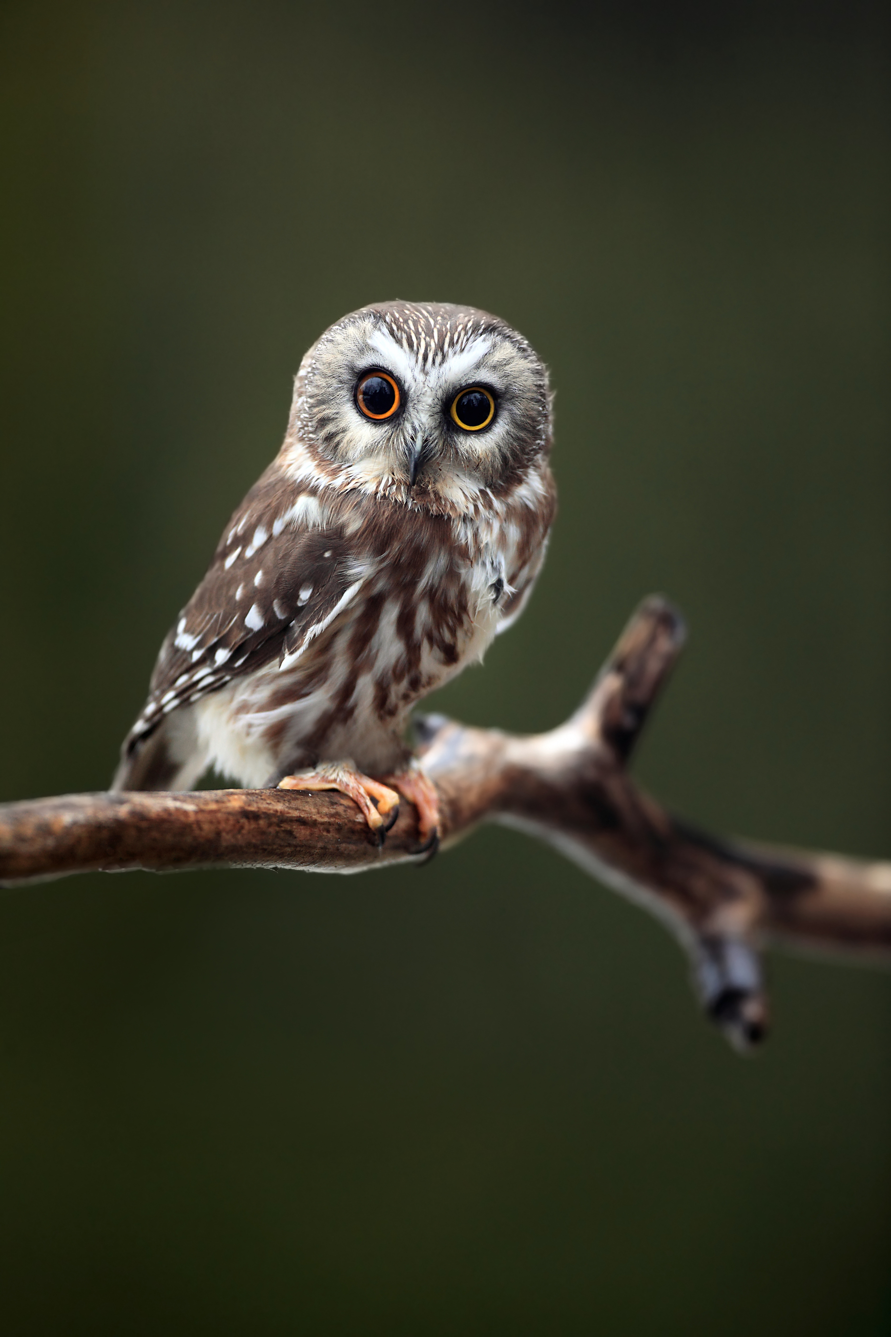 Saw-whet owl.