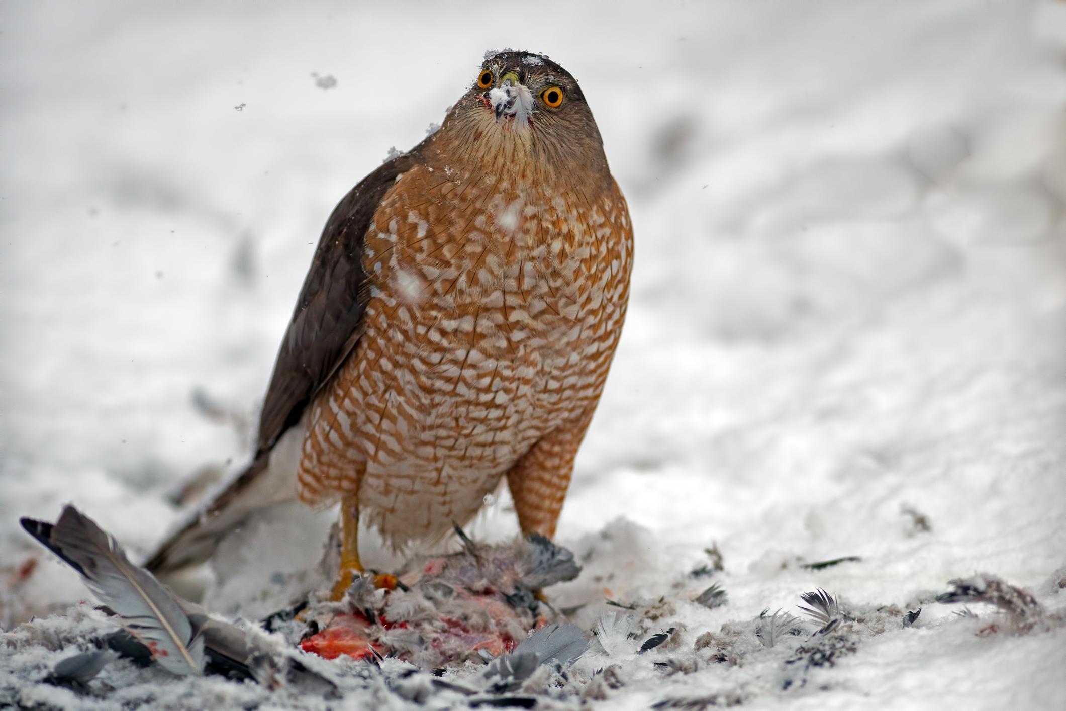 sharp-shinned hawk eating it's prey