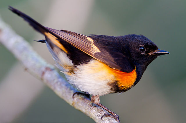 An American Redstart   By Dan Pancamo - originally posted to  Flickr ,CC BY-SA 2.0