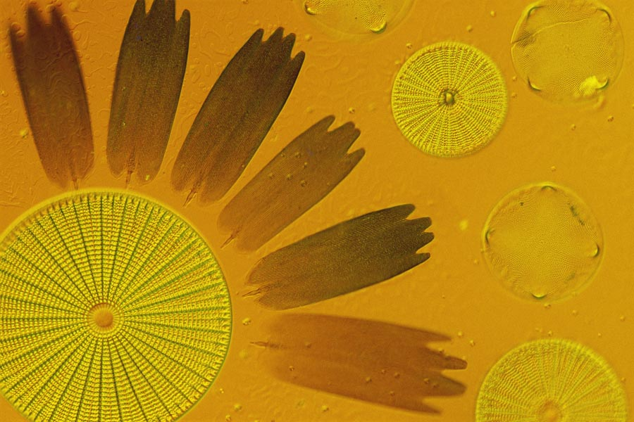 Diatoms And Sunflower Wings