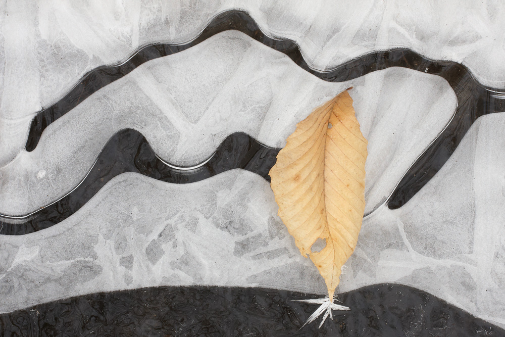 Beech Leaf Ice