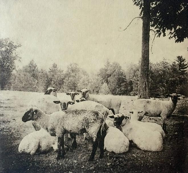 Dunholter_sheep_300.jpeg
