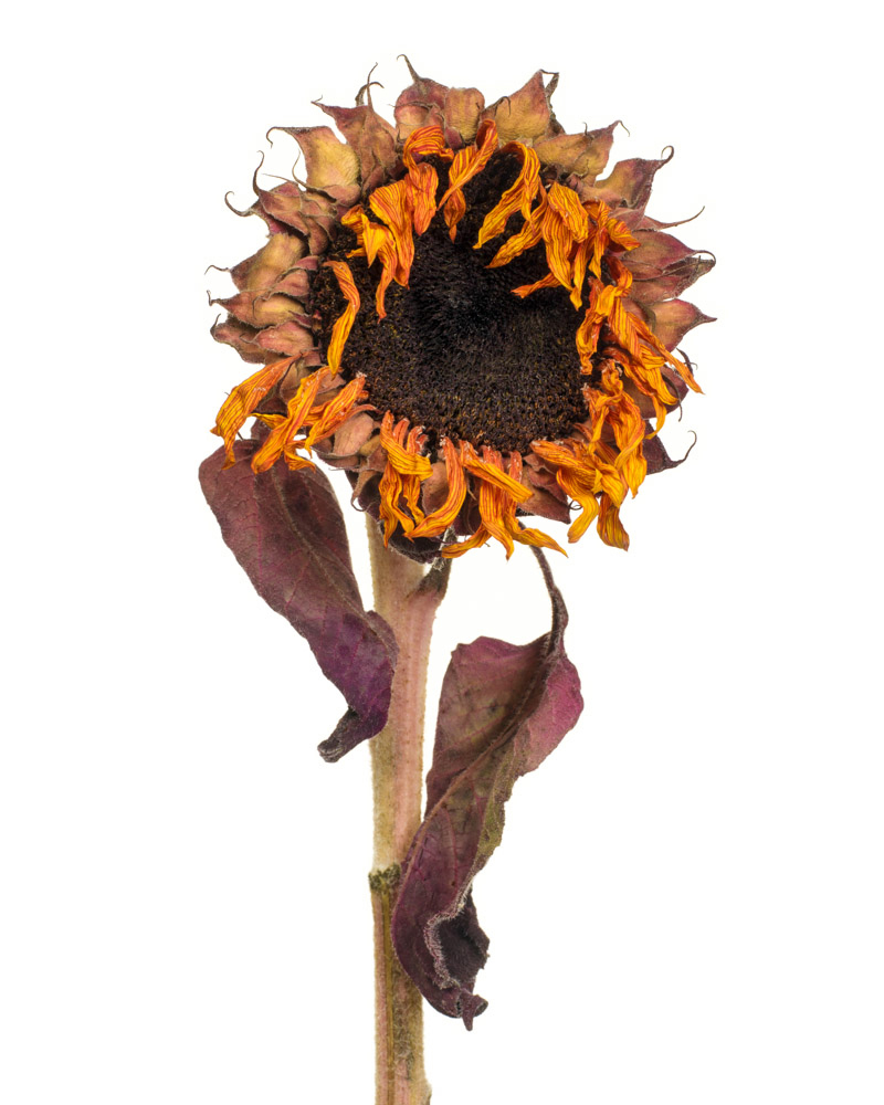 """""""Sunflower Figure"""", photography, 30"""" x 24"""", $400, framed (available in other sizes)"""