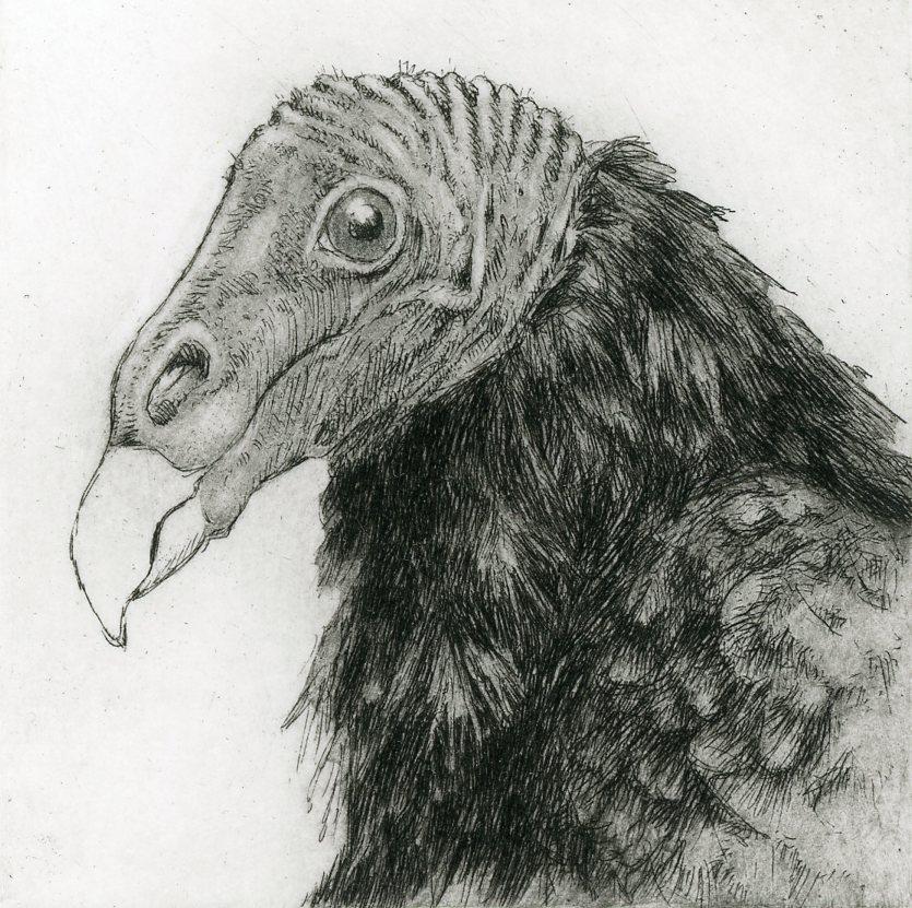 """'Turkey Vulture', 10""""x8"""", $120 framed, $65 unframed"""