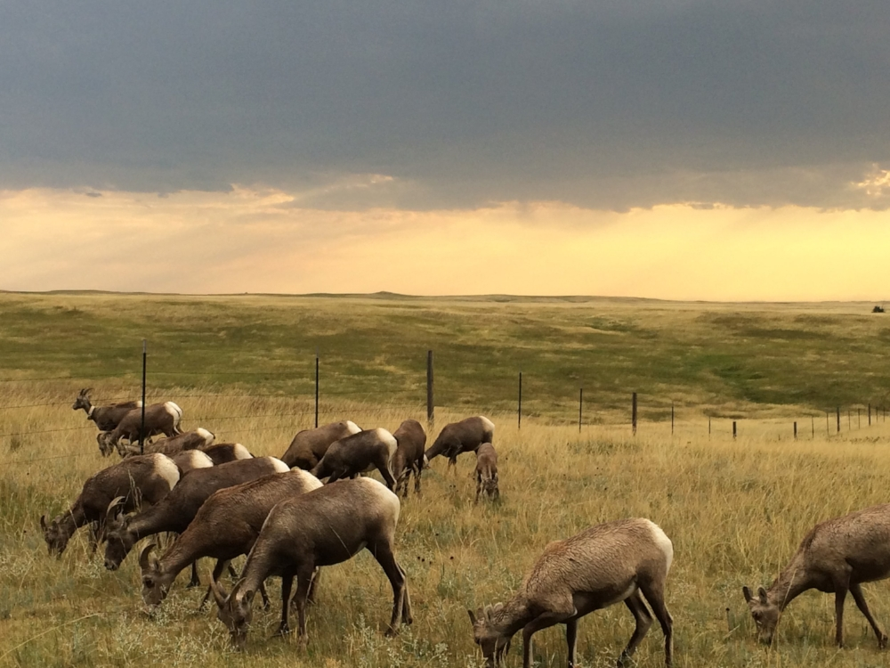 The long horn sheep grazing just next to our trailer