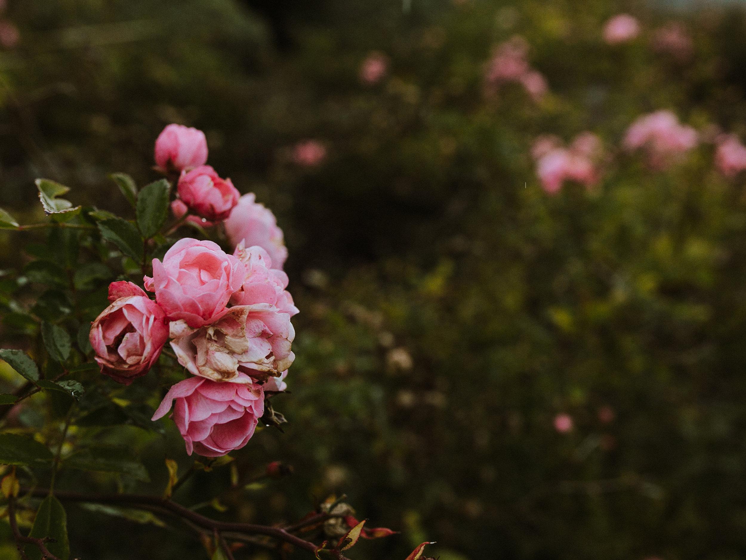 Erin Aasland Wedding Photographer Roses at Rosehill