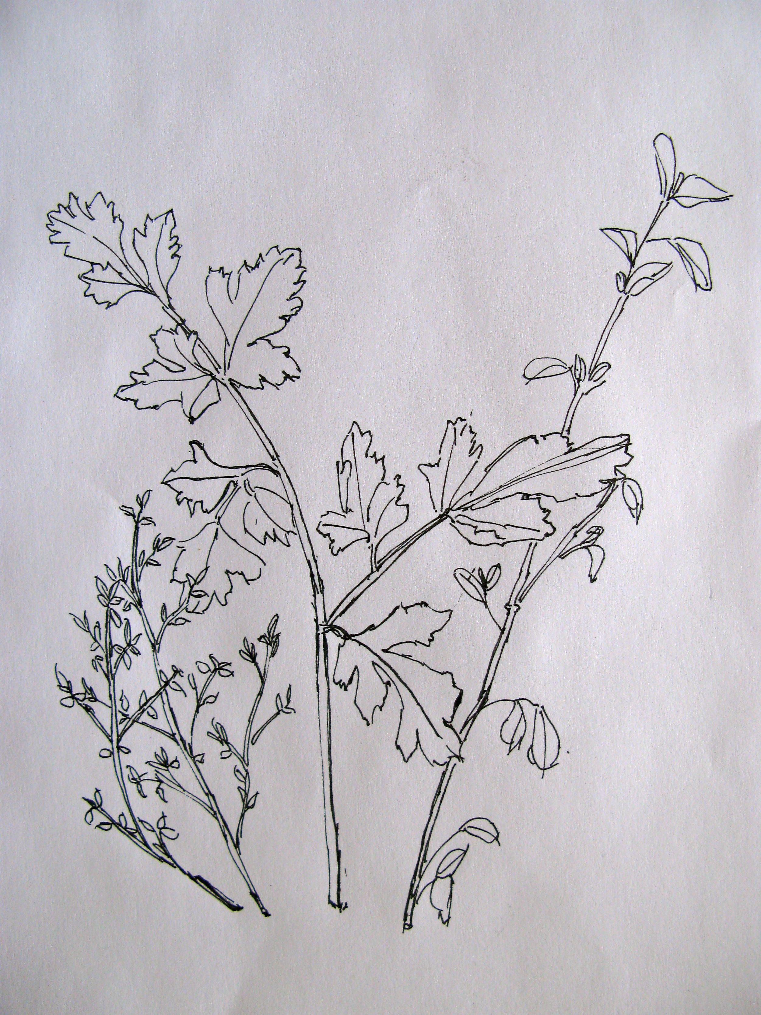 Drawing of parsley.jpg