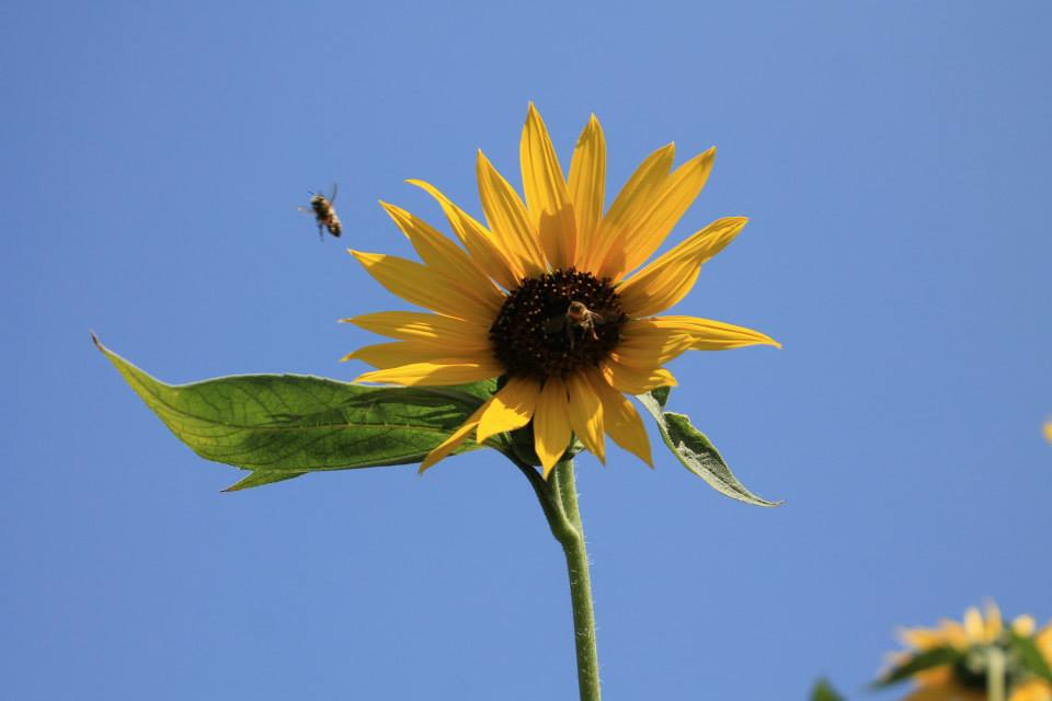 sunflower and bees.jpg