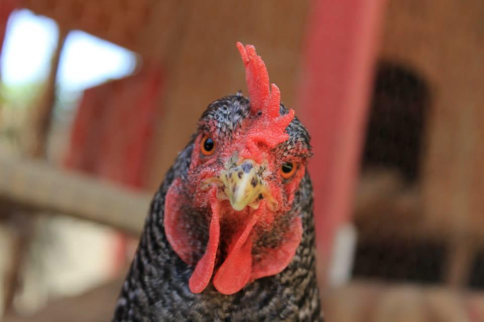 CU chicken.jpg