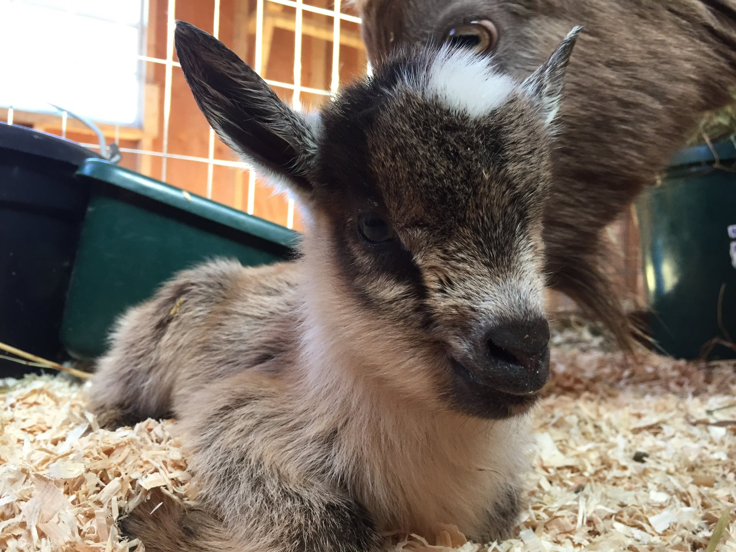 Goat Yoga Baby.jpg