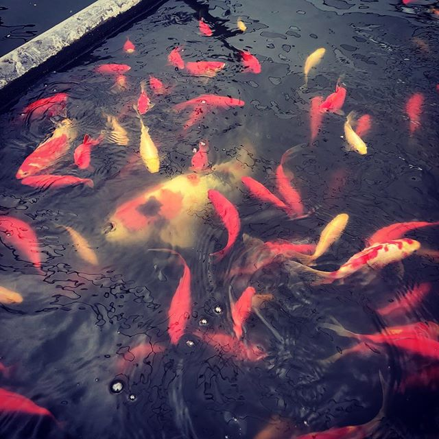 These guys make it all happen. #aquaponics #koi #cleancannabis #closedloop #permaculture #natureworks