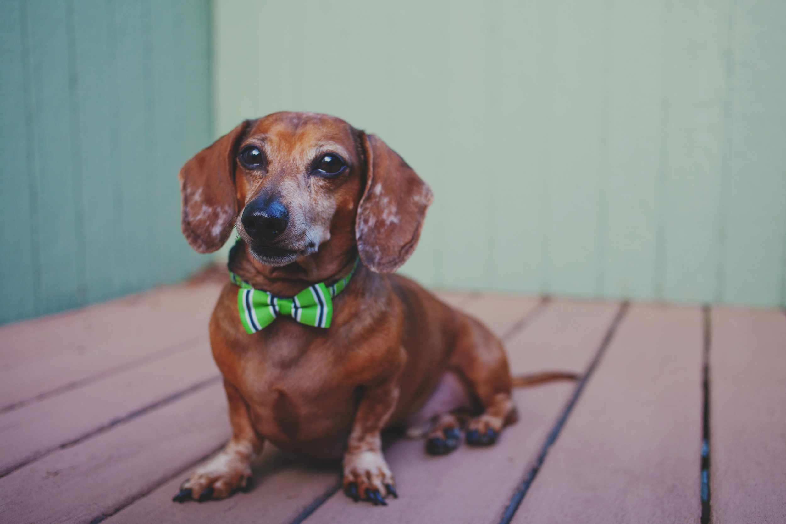 Dapper dachshund in bowtie, photographed by Bend, OR lifestyle photographer The Suitcasee Studio