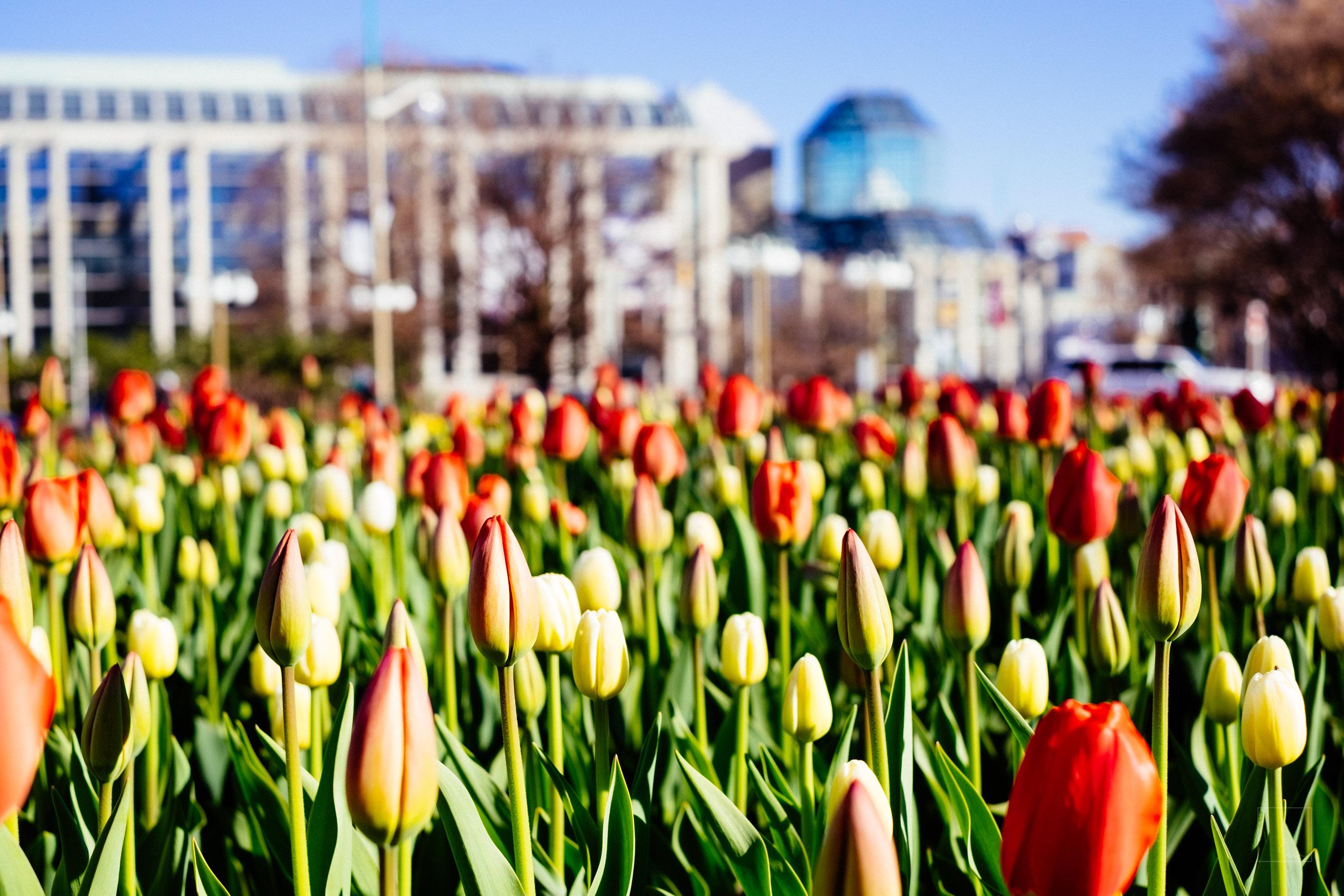 Tulip season 2/5