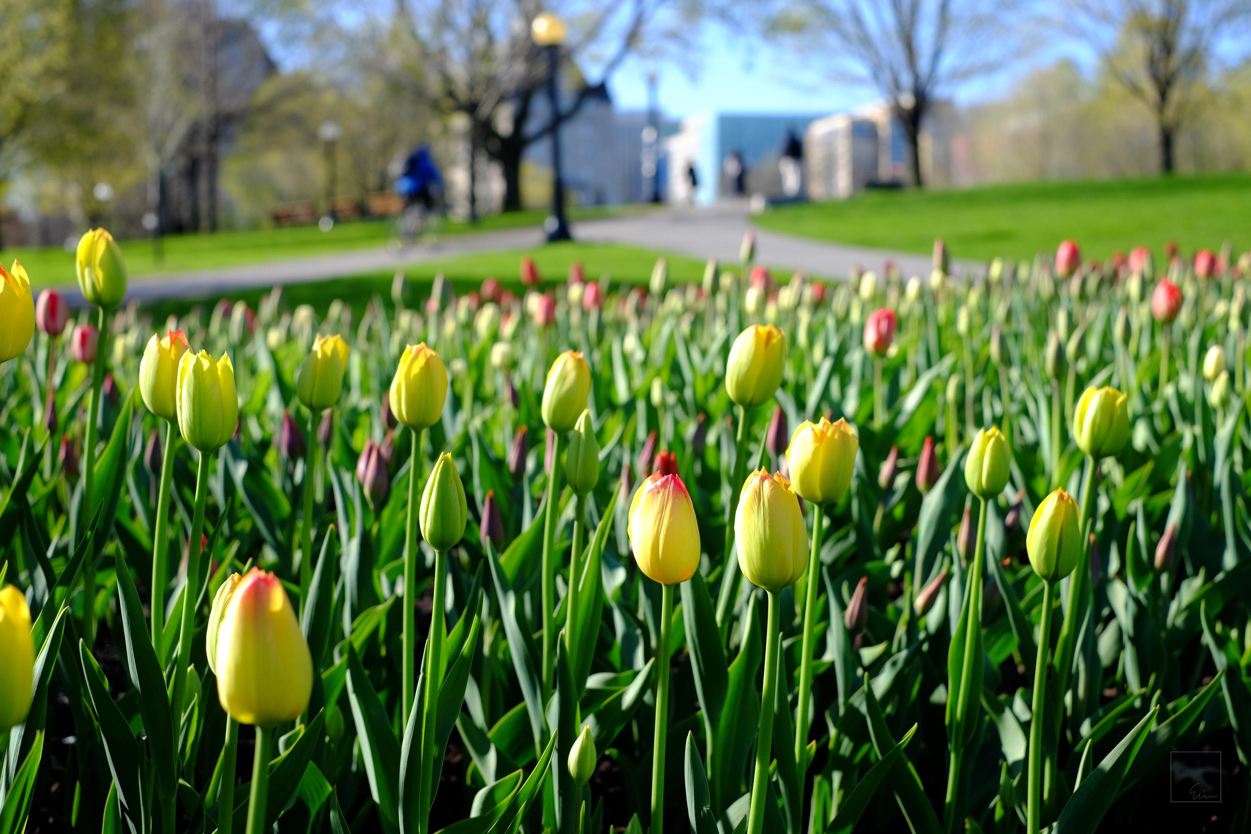 Tulip season 3/5