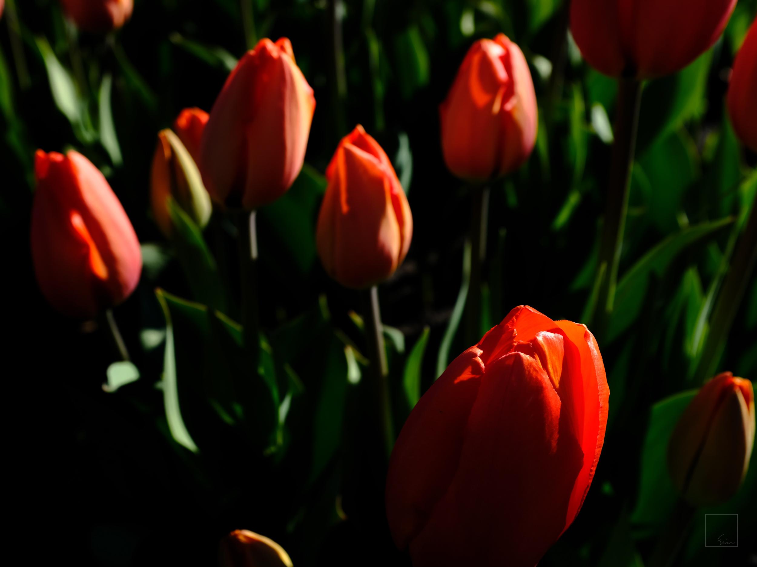 Tulip season 4/5