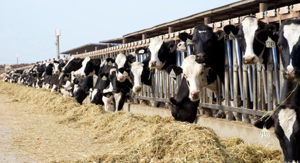 Las gigantescas lecherías industriales que hay en esta zona contribuyen al problema de la contaminación