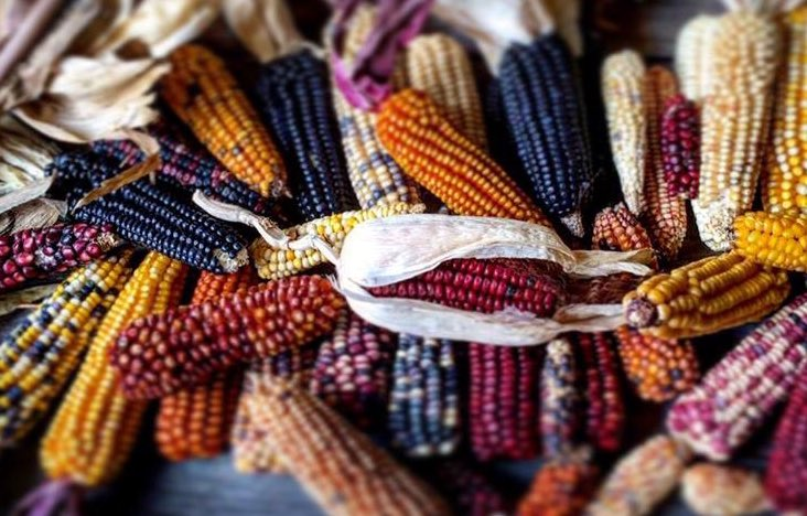 Indigenous peoples in what is now Mexico cultivated the first strains of corn thousands of years ago.