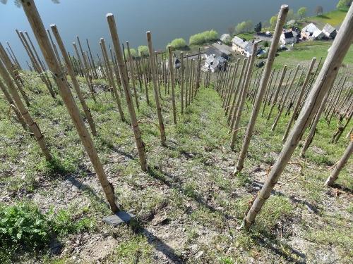 Grapes for Schlossberg eau de vie (1).jpg