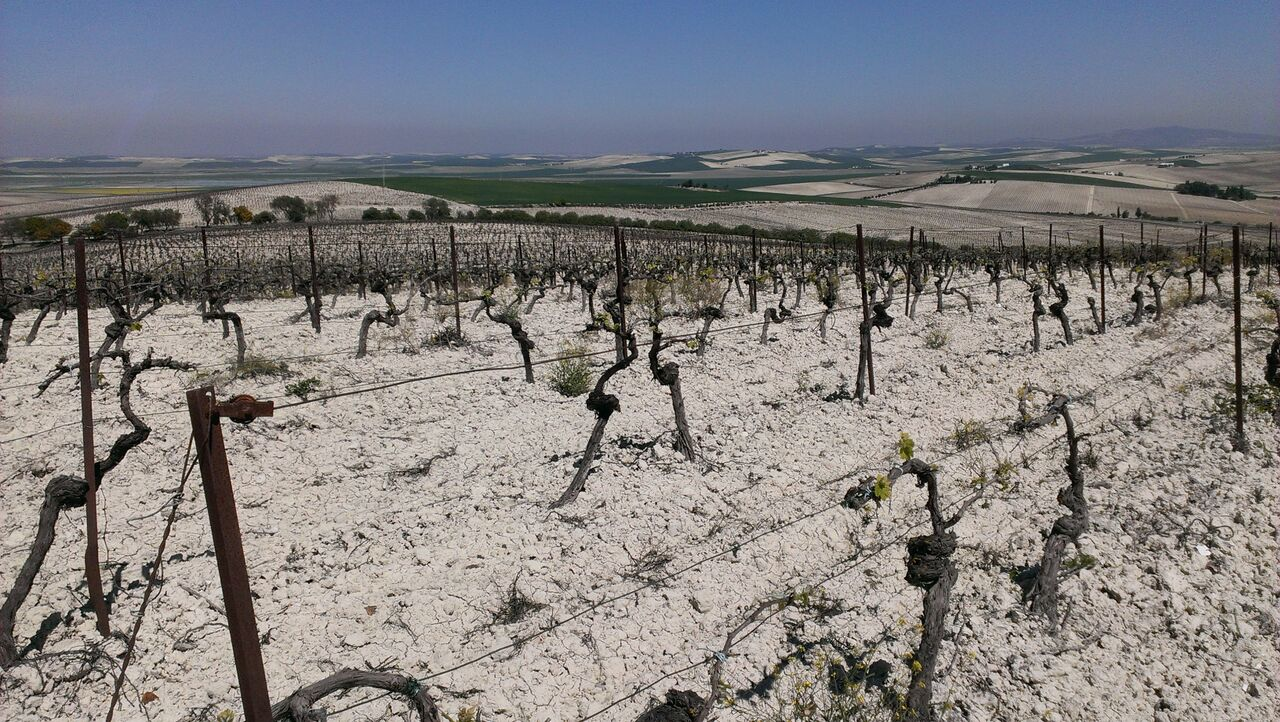 Valdespino Albariza Vineyards.jpg