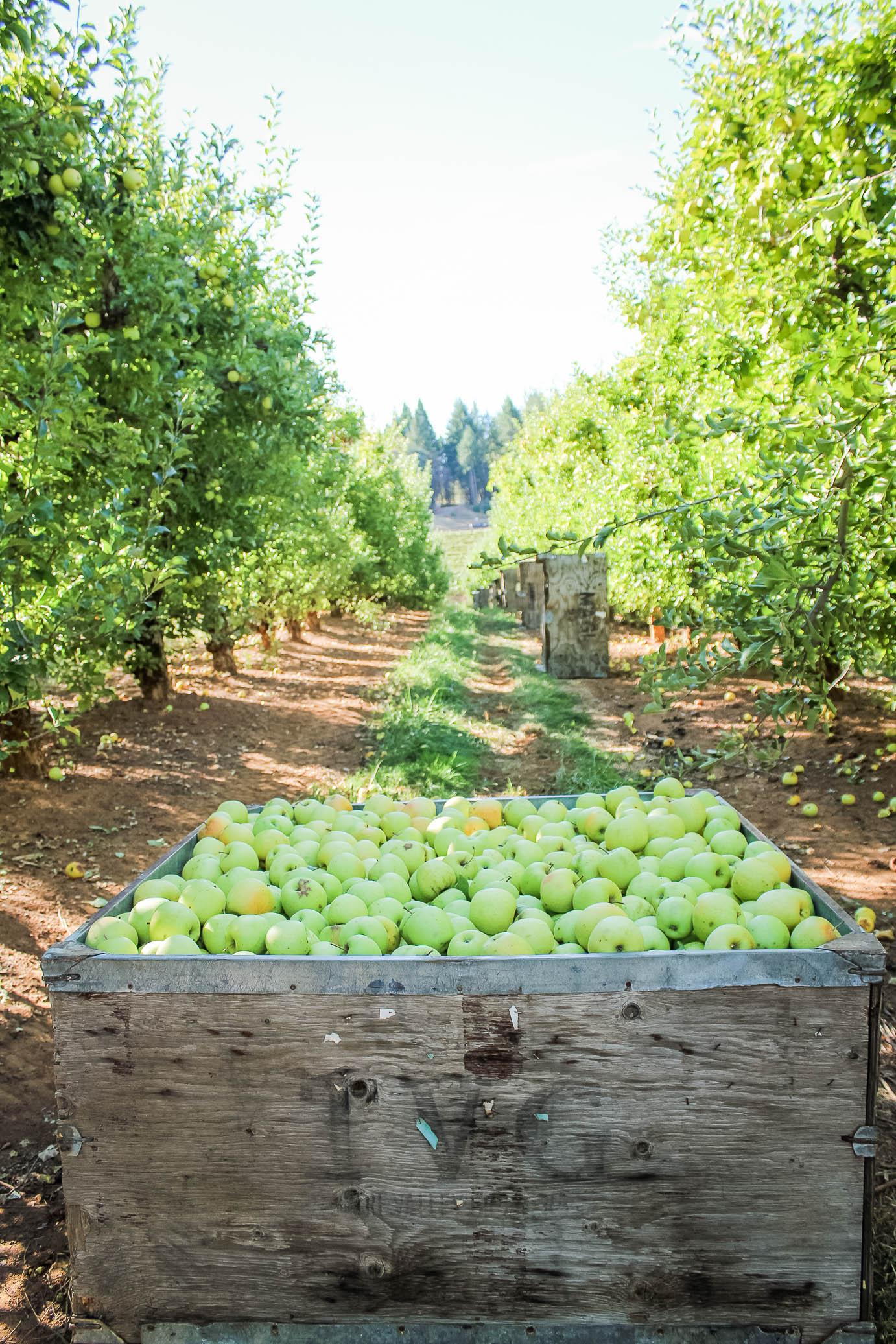 Apples at Kids Inc/Delfino Family Farm in Apple Hill, CA