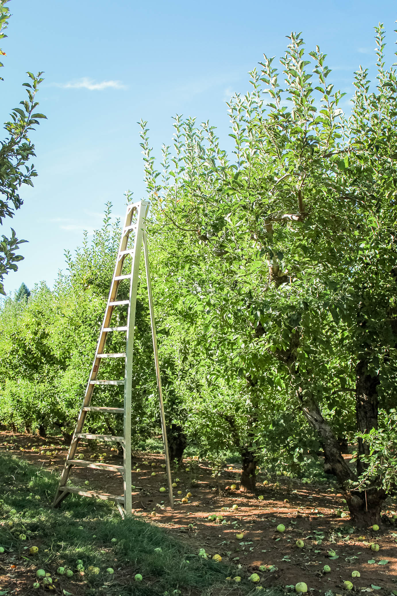 Apple trees at Kids Inc/Delfino Family Farm in Apple Hill, CA