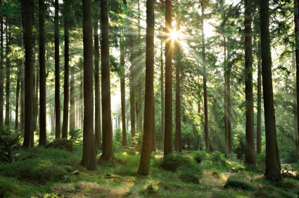 Pine-Tree-Photo.jpg