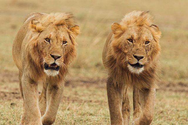 The Maasai Mara did not disappoint with the lions.⠀ .⠀ .⠀ .⠀ .⠀ .⠀ .⠀ .⠀ .⠀ .⠀ .⠀ .⠀ .⠀ #lion #maasaimara #kenya #theking #safari #travel #gotokenya #please #canon #sigma