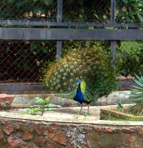 Peacock- Zoo Villa Dolores