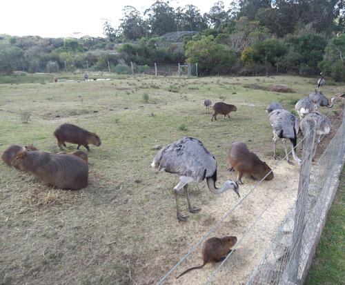 Pan de Azúcar Capybara