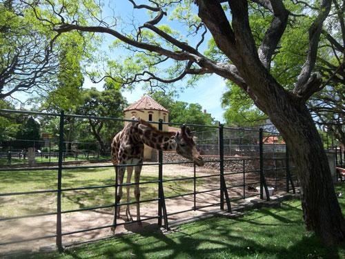 Giraffe- Zoo Villa Dolores Montevideo