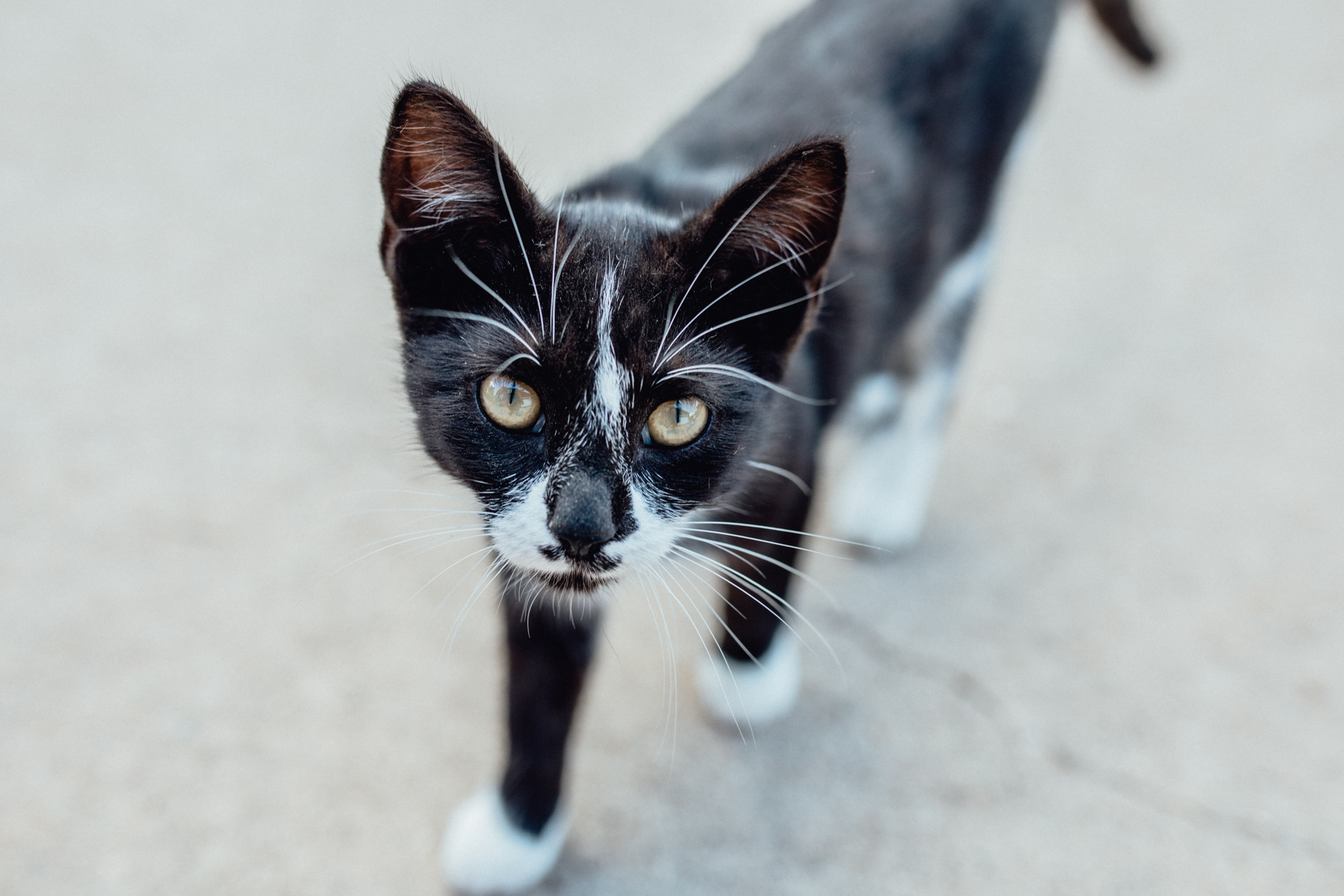 black and white cat walking outside