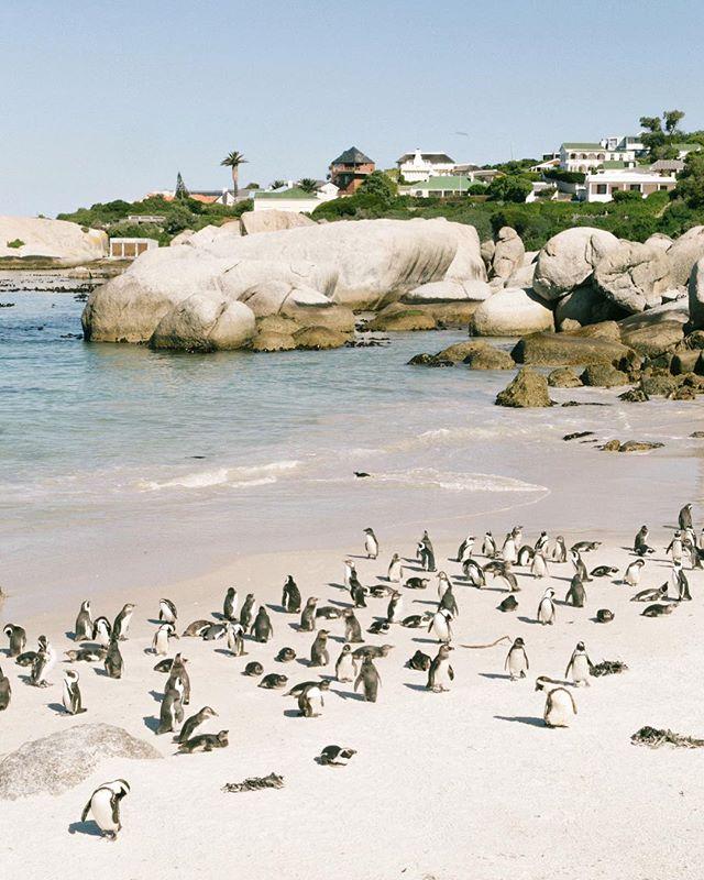 Penguins 🐧 🐧 🐧 ! #capetown #capetownsouthafrica #wanderlust