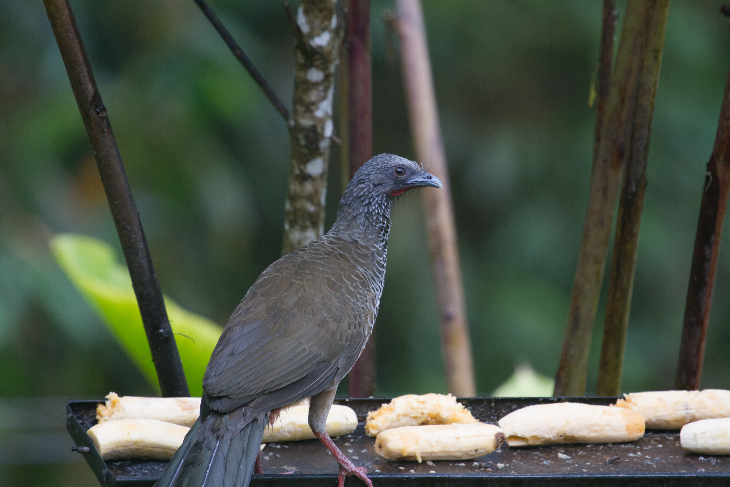 Colombia Chacalaca (1 of 1).jpg