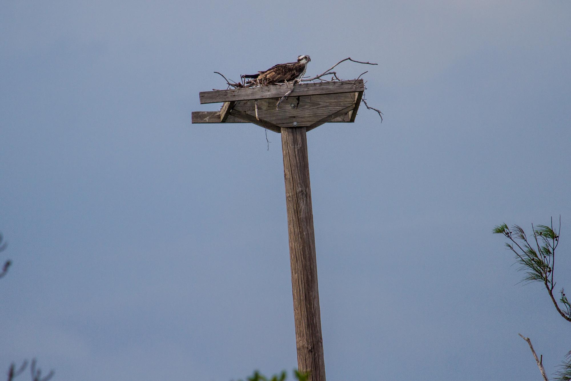 Ramrod Key nest.jpg