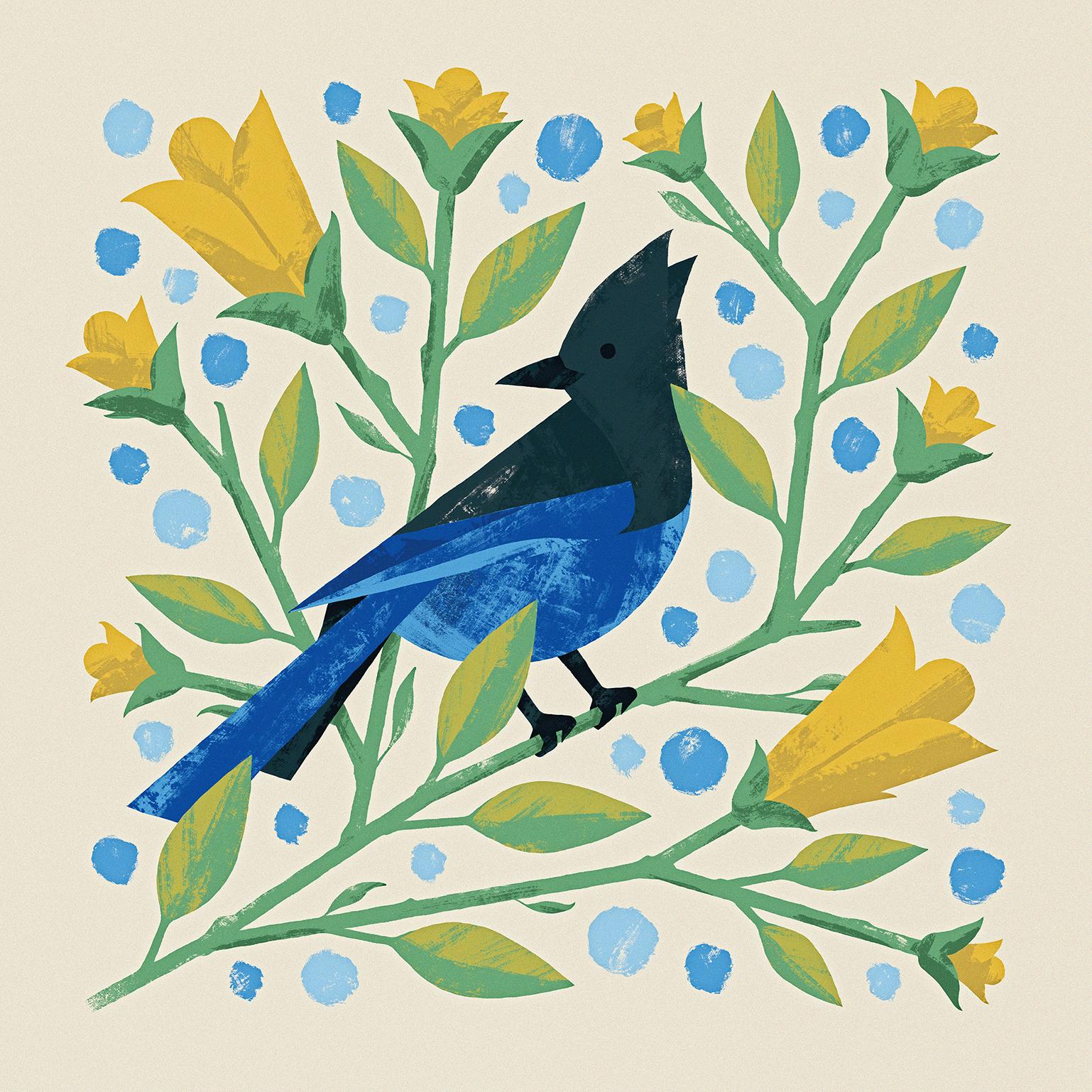Steller's Jay Illustration